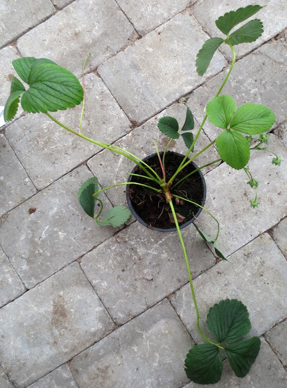 Pineberry - vir jordgubbe med en touch av ananassmak